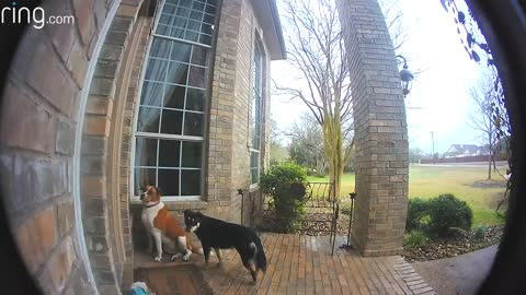 family dogs l earn to use video doorbell to get owners attenations