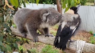 Koala Runs Into Magpie Road Block