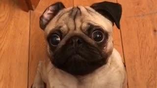 Impatient Pug snatches treat