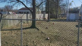 Deer in Backyard Jump Huge Fence
