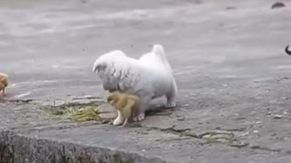 Cute puppy playing with chicks