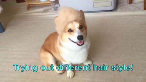 Corgi wears wig made of his own fur
