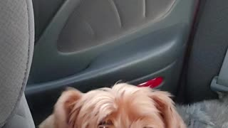 My dog the Yorkshire Terrier named Zeus