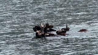 Family of Moose Swimming Across Colorado Lake