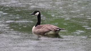 The beautiful goose in the lake