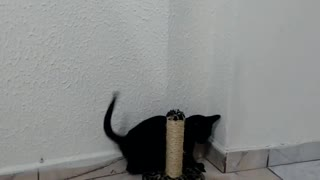 Black kitten playing with rattle / going crazy