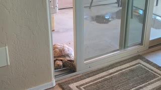 Tortoise Sneaks in Through Sliding Door