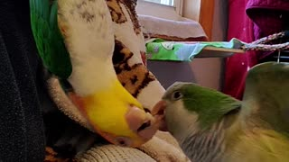 Parrot battles his friend while hanging upside down