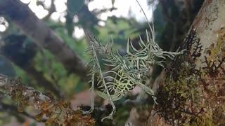 Lichen Grasshopper Climbs Tree Limb