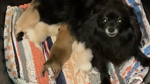 Pomeranian puppies and their mommy
