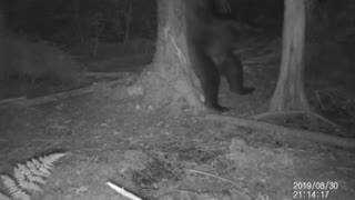 Bear with Itchy Backside