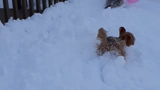 Doggies Chase Balloon Around Snow Filled Backyard