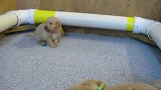 Howling golden retriever puppy