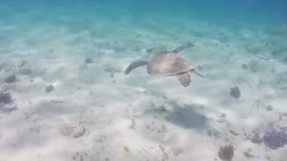 Turtle swims in the waters of Sharm El-sheikh