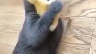 So cute duck playing with beautiful cat
