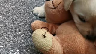 Seeing Eye Puppy Plays with Teddy