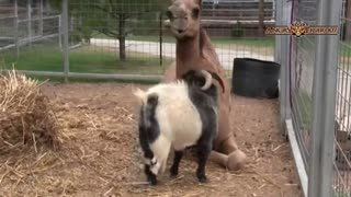 Humanity Of Animals - Faith In Humanity Restored - Top 10 Animal Friendships Compilation