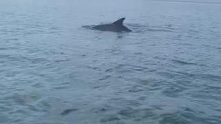 Delfines en Cholón