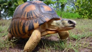 Interesting facts about the rare radiated tortoise