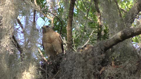 Red-Shouldered Hawk with its chicks