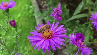 Bee Insect Blossom Collects Nectar From Purple Flower