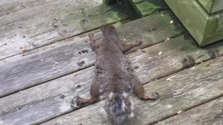 Squirrel Lays Down to Keep Cool