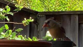 #Back Yard Birds Hawai'i Sister Cardinal
