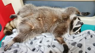 Pet raccoon caught sleeping in hilariously awkward position