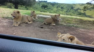 Watch how they reacted when the lion opens the car door