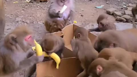 Feed bananas to the monkeys. It's fun for monkeys to eat