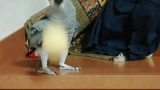 Ha ha ha! Parrot has fun playing the ball and laughing!