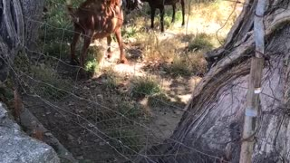 Baby goats fighting for fun
