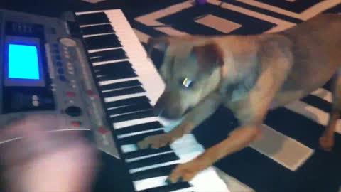 Dog Plays Keyboard