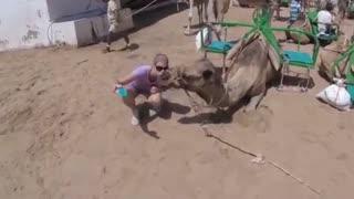 Camel Bites a Woman Taking a Selfie