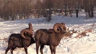 Sheep battle with bighorn