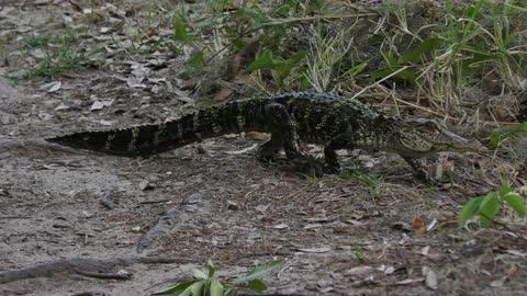 Cute small american alligator walking