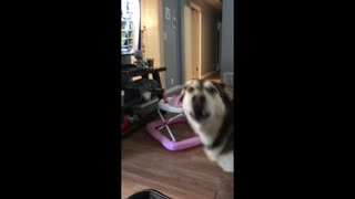 Big beautiful husky is tired of social distancing.