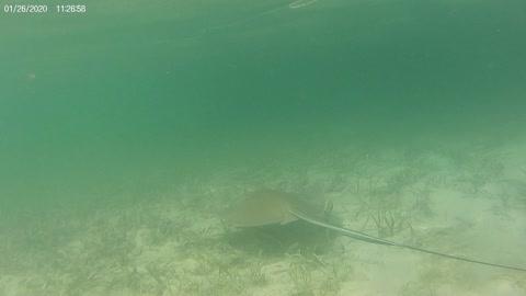 Stingray Closeup! Florida Keys Mangrove!