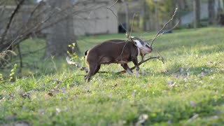 Silly dog plays fetch with a huge tree branch.