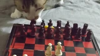 Very Patient Kitty Plays Chess