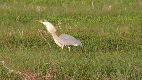 Great Blue Heron feeds on a large fish in Florida wetlands