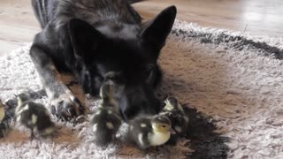 Newly hatched ducklings introduced to German Shepherd guardian