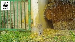 Cute Iberian Lynx Kittens Play Around In Haystacks 03