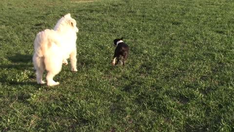 Boston terrier vs. Great Pyrenees: part 3