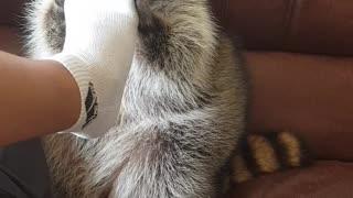 Raccoon plays with family feet
