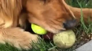 Dog eating balls