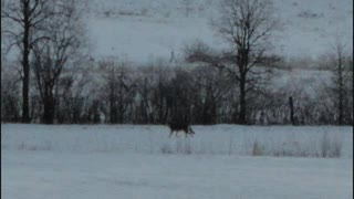 33 Coyote Coyote