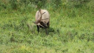 Bull Elk Rolling Around in the Grass