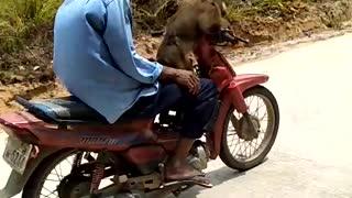 Monkey Rides Motorcycle