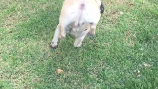 Pug Chooses a Peculiar Position